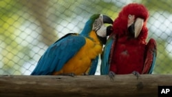 A blue-and-yellow macaw grooms a red-and-green macaw, inside an enclosure at BioParque, in Rio de Janeiro, Brazil, May 5, 2021.