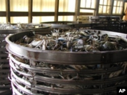 It's a record year for Maryland blue crabs, but sales to Gulf states are down.
