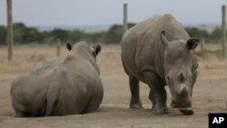 فاتو و نجین (چپ) دو کرگدن ماده و تنها کرگدن های سفید شمالی باقی مانده در جهان، پارک حفاظت شده «اُول پژتا» در کنیا.