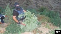 Lazarat: Operacioni i parë i policisë së Gjirokastrës për shkatërrimin e sipërfaqes me marijuana