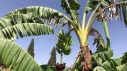 دهلمند د کرنې رئيس: نوي ترویج شوي نباتات د کوکنارو ښه بديل دی