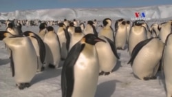 Կայսերական պինգվինները լքում են Անտարկտիդայի Հալլի Բեի կայանը