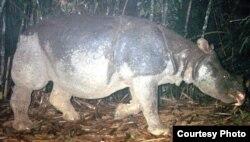 Hình ảnh cá thể tê giác Java cuối cùng của Việt nam được chụp qua máy bẫy ảnh.