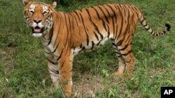 Một con hổ trong một công viên bảo tồn ở miền nam thành phố Bangalore, Ấn Độ