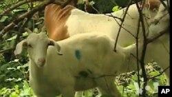 미 의회묘지 벌초에 투입된 염소들
