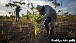 A reforestation assistant measures a newly-planted tree in a field damaged during illegal gold mining in Madre de Dios, Peru, on March 29, 2019