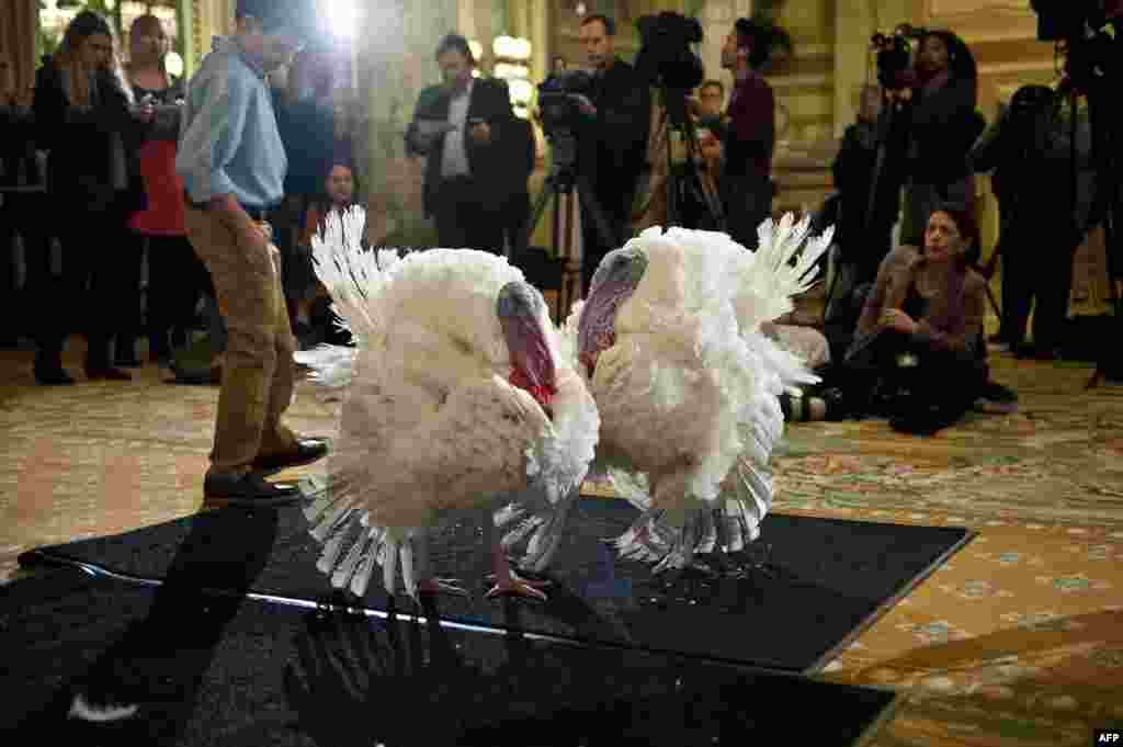 Two turkeys, one named Caramel and the other Popcorn, are presented to the press in Washington, DC, Nov. 26, 2013.