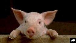 Zakonska svinjetina manja za 40 posto u odnosu na 2006.
