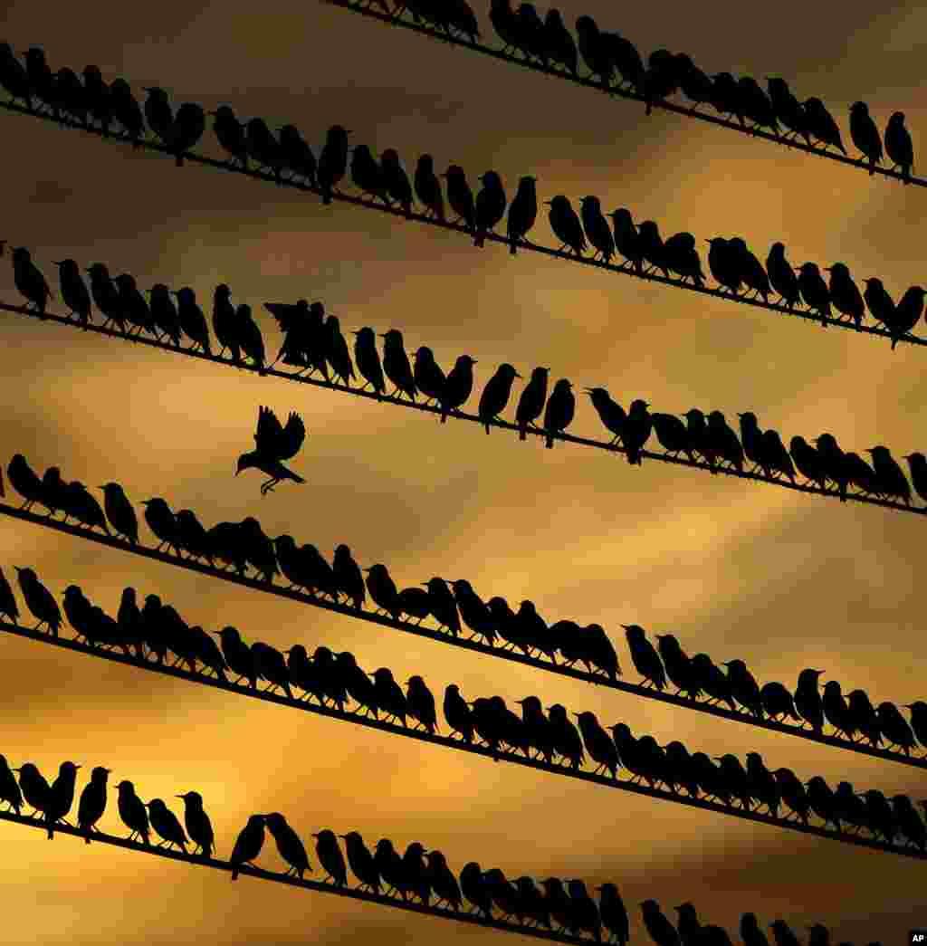 یرنده ای که در میان انبوهی از پرندگان به دنبال جایی برای نشستنبر روی کابل های برق می گردد.