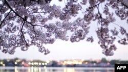 Festival cvetanja trešanja u Vašingtonu