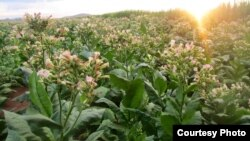 Hybrid tobacco plants at a test farm for aviation biofuel production in Limpopo province, South Africa. (Photo credit: Sunchem South Africa)