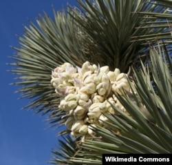 The white wildflowers of Joshua trees