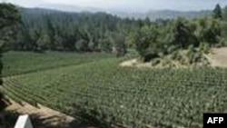 Një kantinë në Kaliforni konkuron me sukses në tregun e verërave