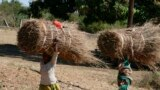 Women transporting straw on head on road to Palma