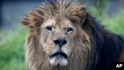 Seekor singa Afrika di Paris Zoological Park, Bois de Vincennes, Paris timur, 8 April 2014.