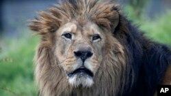 An African lion at the Paris Zoological Park, Bois de Vincennes, east of Paris, April 8, 2014.