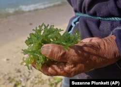 A variety of seaweed called Codium in Bali, Indonesia.