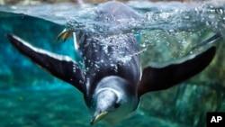 Los pingüinos utilizan un sistema parecido al de los humanos cuando se encuentran en un embotellamiento vehicular.