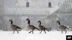 Un grupo de gansos caminan durante una tormenta de nieve, la primera de la temporada, en Portland, Oregon.