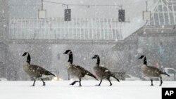 Sekumpulan angsa berjalan di sepanjang taman depang kolam di tengah hujan salju yang tebal sementara badai musim dingin pertama musim ini melanda wilayah Portland, Oregon (8/12). (AP/Don Ryan)