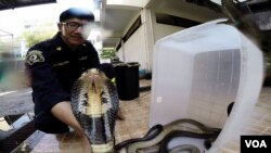 Khun Pinyo handles a venomous cobra snake, Feb. 28, 2016. (Z. Aung/VOA)