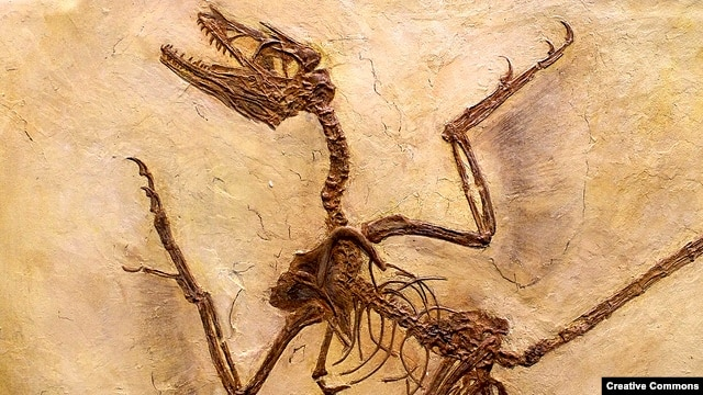 """The Microraptor lived about 130 million years ago and is believed to be a precursor to today's birds. (Via <a href=""""http://www.flickr.com/photos/cinaflox/"""">Flickr Creative Commons</a>)"""