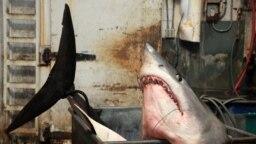 Seekor hiu mako dengan berat 1323,5 pon, ditimbang dalam tangki di Perusahaan Umpan Newfishall, kantor pusat perusahaan tersebut di Gardena, California.