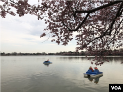 "People ride on the Tidal Basin in Washington, D.C. shortly before the so-called ""peak bloom"" of Washington's cherry trees."
