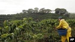 Perkebunan kopi di Finca La Bella, Costa Rica, merupakan tempat penelitian pertanian Universitas Georgia, salah satu universitas ternama di Amerika.