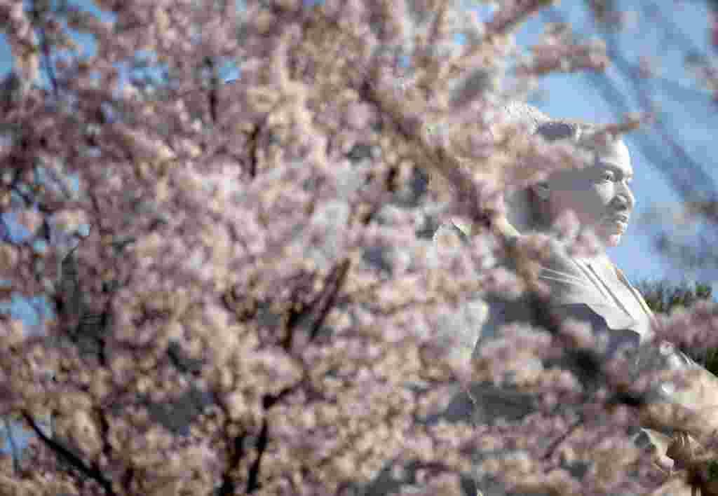 Los cerezos en flor ofrecien una imagen única del monumento a Martin Luther King Jr. en la alameda de Washington.