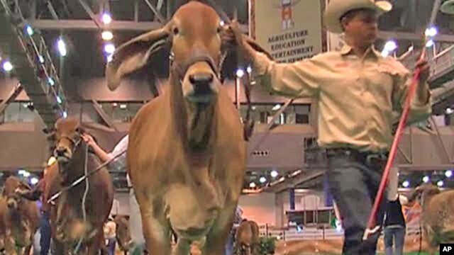 Ranchers present their prized animals for judging at  the annual Houston Livestock Show and Rodeo.