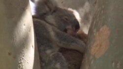 Australija: Dronovi pomažu u praćenju i očuvanju koala