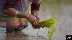 FILE - An Indian woman replants rice saplings in a paddy field on the outskirts of Gauhati, India, Jan. 30, 2018.