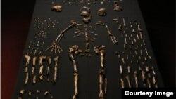 Des fossiles exhumés d'une grotte près de Johannesburg suggèrent que l'espèce Homo naledi a vécu en même temps que les premiers Homo sapiens.