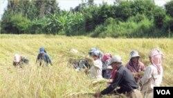 Para petani memanen padi di sawah. Melonjaknya harga pangan akan menyengsarakan negara-negara berkembang.