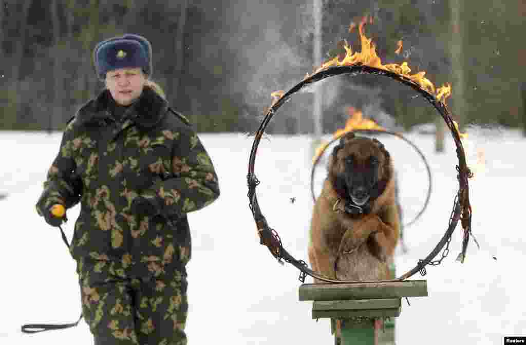 A Belarussian military instructor trains her Shepherd dog at a frontier guards' cynology center near the town of Smorgon, some 140 km (87 miles) northwest of Minsk. Puppies and dogs, which don't meet requirements for the service at the border, can be sold to civilians.