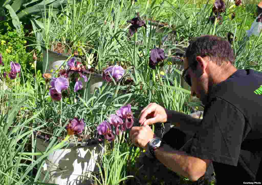 Jedan student oprašuje perunike u sklopu svojih istraživanja o očuvanju biljaka.