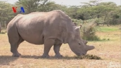 Rare African Rhino, Up Close and Personal (On Assignment)