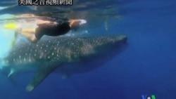 2011-09-22 美國之音視頻新聞: 姚明號召中國人不食魚翅