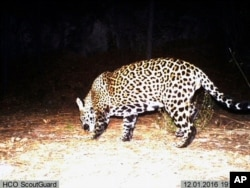 FILE - This image from video provided by Fort Huachuca in southeast Arizona shows a wild jaguar in southern Arizona, Dec. 1, 2016.