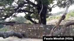 اسلام آباد میں بڑھتی ہوئی آباد کے باعث تاریخی درختوں کی بقا کو خطرات لاحق ہیں۔