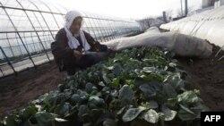 Посевы шпината в префектуре Ибараги, Япония. 20 марта 2011 года