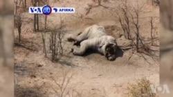 VOA60 Afirka: A Botswana Wani Farmakin Hallaka Dabbobin Daji Da Aka Kai Ya Janyo Asarar Giwaye Akalla 100 Da Mafarauta Suka Kashe