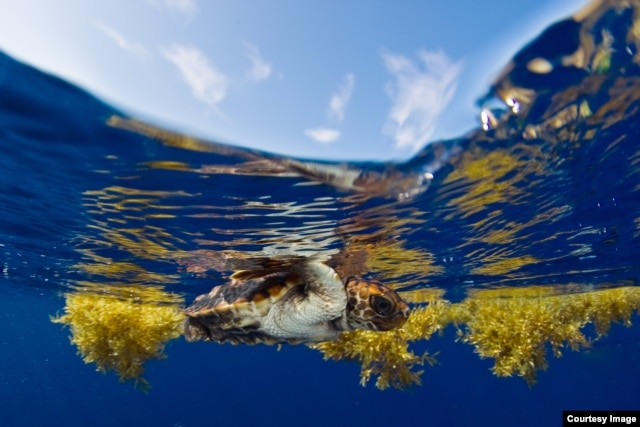 Young loggerhead seeks refuge in Sargassum seaweed off the Florida coast. (Photo by Jim Abernethy)
