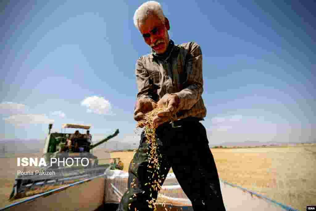 برداشت خوشههای طلایی گندم در استان همدان عکس: پوریا پاکیزه
