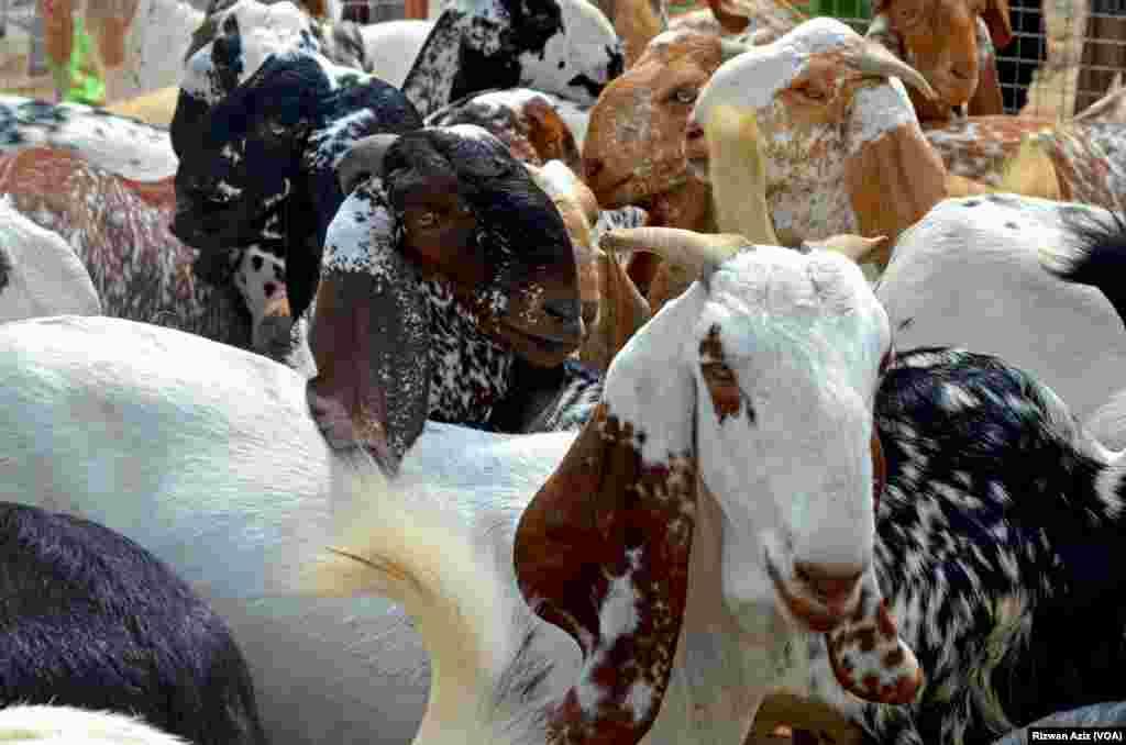 منڈی میں ملک کے مختلف علاقوں سے مختلف نسلوں کے بکرے لائے گئے ہیں۔