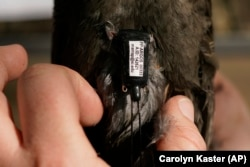 Avian ecologist and Georgetown University Ph.D. student Emily Williams fits an Argos satellite tag to an American robin, like a backpack, Saturday, April 24, 2021, in Silver Spring, MD.