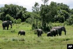 Sekumpulan gajah terlihat bergerombol di konservasi Ol Pejeta, Kenya, Sabtu, 2 Mei 2020. (Foto: dok).