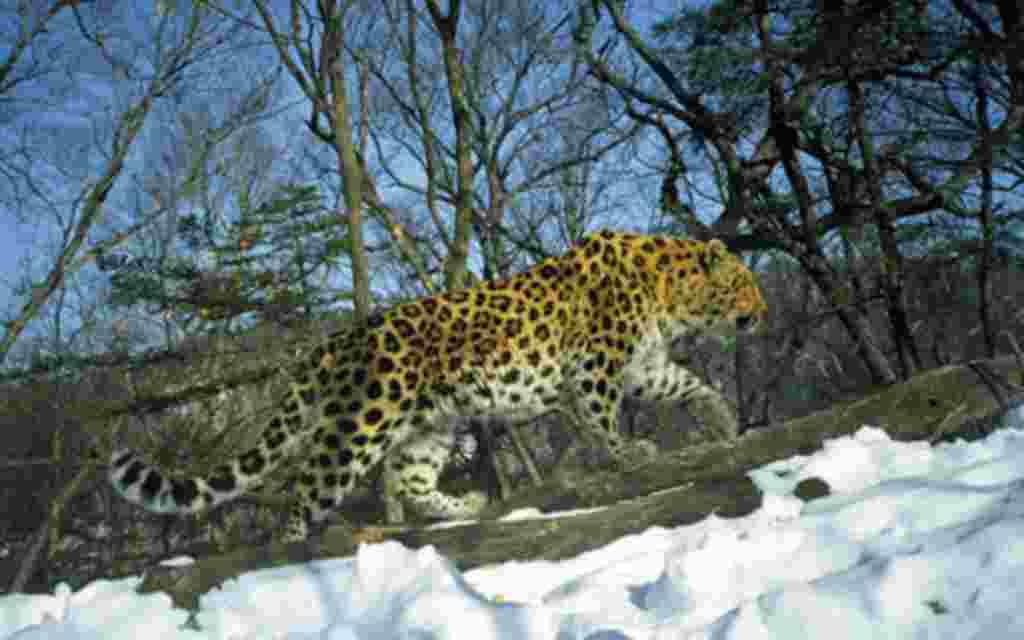 La variedad de especies y la población de tigres ha disminuido considerablemente en los últimos 50 años. En la imagen, Borisovskii, un joven macho de la especie Amur en un área protegida.