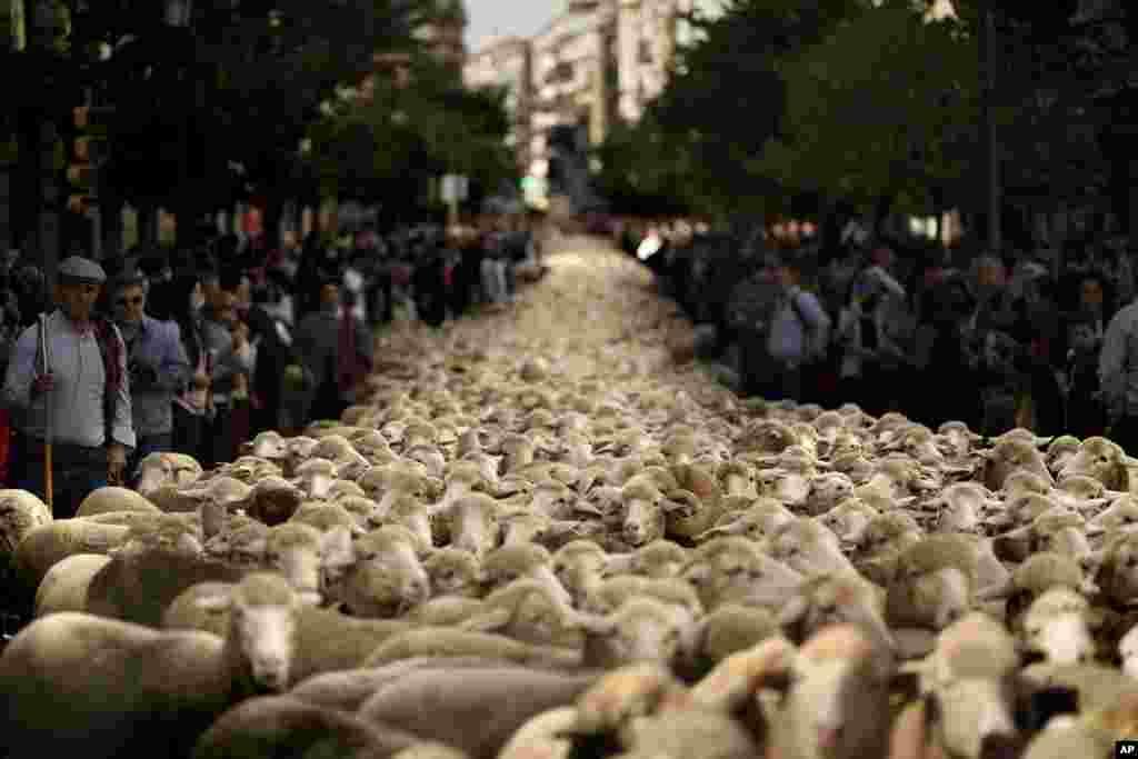 អ្នកឃ្វាលចៀមនាំចៀមរបស់ពួកគេដើរកាត់កណ្តាលក្រុងម៉ាឌ្រីដ (Madrid) ប្រទេសអេស្ប៉ាញ។ អ្នកឃ្វាលចៀមជាច្រើនបាននាំសត្វចៀមចំនួន២.០០០ក្បាលដើរកាត់ផ្លូវក្នុងក្រុងម៉ាឌ្រីដ ដើម្បីការពារសិទ្ធិផ្លាស់ទី និងសិទ្ធិរកស្មៅ ដែលរងការគំរាមកំហែងកាន់តែខ្លាំងទៅៗ ពីការអនុវត្តកសិកម្មបែបទំនើប និងការរីកចម្រើនក្នុងទីក្រុង។ អ្នកទេសចរ និងអ្នករស់នៅទីក្រុងមានការភ្ញាក់ផ្អើលនៅពេលឃើញ គេបិទចរាចរណ៍ទីក្រុងដើម្បីអនុញ្ញាតឲ្យមានការដើរក្បួន និងបន្លឺសម្លេងដើម្បីសុំផ្លូវដើរកាត់កន្លែងដែលមានមនុស្សច្រើននៅក្នុងទីក្រុង។